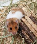 Hamster Marsvin Gerbil Dvärghamster