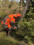 Trädfällning / Avverkning